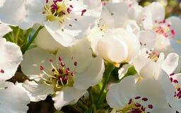 Nice plum flowers. On branch Stock Photo