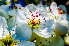 Nice plum flowers. On branch Royalty Free Stock Images