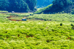 Nice plum plantation in Moc Chau plateau, Vietnam Stock Image