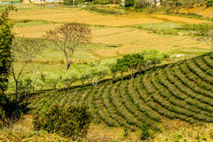 Nice plum strips nearby tea plantations Stock Photography