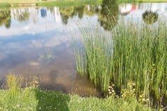 Nice pondside reeds Stock Image