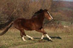 Nice pony running Stock Photo