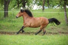 Nice pony running on pasturage Stock Photography