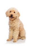 The nice poodle dog isolated on white. Nice poodle dog isolated on white stock photos