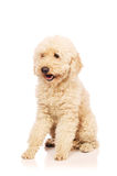 The nice poodle dog isolated on white. Nice poodle dog isolated on white stock photography