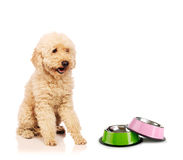The nice poodle dog isolated on white Royalty Free Stock Photos