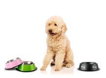 The nice poodle dog isolated on white Stock Photos