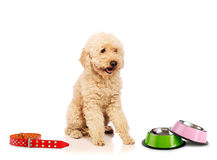 The nice poodle dog  on white Royalty Free Stock Images