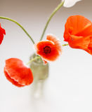 Nice poppies Royalty Free Stock Photography