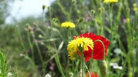 Nice - Poppy and dandelion. Poppy and yellow dandelion at the meadow stock footage