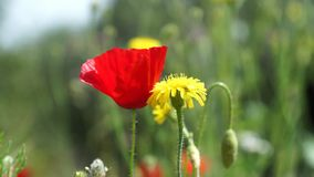 Nice - Poppy and dandelion. Poppy and yellow dandelion at the meadow stock video footage
