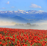 Nice poppy field in mountains Royalty Free Stock Photo