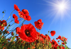 Nice poppy Stock Photo