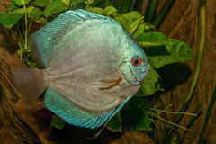 Nice portrait of blue discus (Symphysodon sp.) fish Royalty Free Stock Image