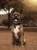Nice portrait of a boxer dog sitting in a public park royalty free stock images