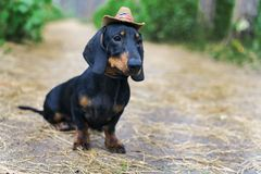 Nice portrait of a dog puppy breed dachshund black tan, in the cap of a cowboy in the green forest.  royalty free stock photos