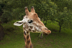 Nice portrait of a giraffe eating grass Royalty Free Stock Photo