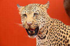 Nice portrait of a leopard stuffed Stock Photo