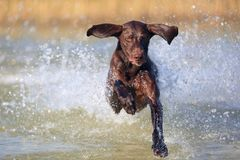 Nice portrait of the thoroughbred hunting dog German shorthaired pointer brown color. Funny ears pointing on different sides. royalty free stock photos