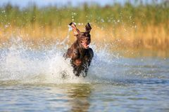 Nice portrait of the thoroughbred hunting dog German shorthaired pointer brown color. Funny ears pointing on different sides. stock photos