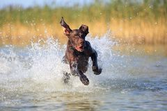 Nice portrait of the thoroughbred hunting dog German shorthaired pointer brown color. Funny twisted ears. Playful muscle pet is. Running on the water splashing stock images