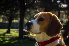 Portrait lovely dog ​​breed Beagle royalty free stock photography