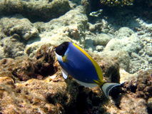 Nice Powder Blue Tang. You can see a lot of Blue Tang in Maldives Stock Image