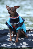 Nice prague ratter with dog clothes in winter Stock Photo