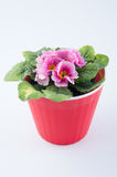 Nice primrose growing in red plastic pot  on white background Stock Photo