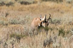 Nice Pronghorn Buck in Rut Stock Photography