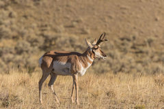 Nice Pronghorn Antelope Buck Royalty Free Stock Photos