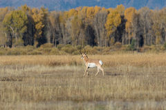 Nice Pronghorn Antelope Buck Stock Photos
