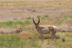 Nice Pronghorn Antelope Buck Royalty Free Stock Photography