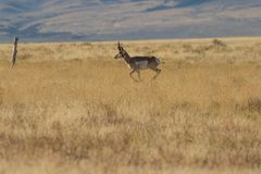 Pronghorn Antelope Buck Running Stock Photos
