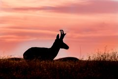 Pronghorn Buck at Sunset Royalty Free Stock Photo