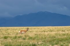 Pronghorn Antelope Buck on the Prairie. A nice pronghorn antelope buck on the Utah prairie Stock Images