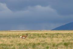 Pronghorn Antelope Buck on the Utah Prairie. A nice pronghorn antelope buck on the Utah prairie Royalty Free Stock Photography