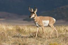 Nice Pronghorn Buck Stock Image