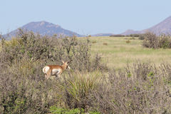 Nice Pronghorn Buck Royalty Free Stock Photos