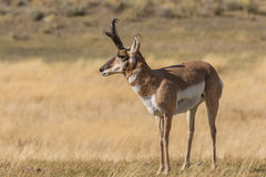 Nice Pronghorn Buck Stock Photos