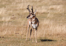 Nice Pronghorn Buck Royalty Free Stock Photo