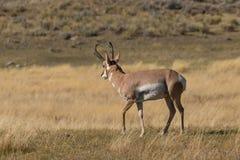 Nice Pronghorn Buck on Prairie Stock Images