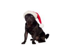 Nice pug carlino dog with Christmas hat Royalty Free Stock Images