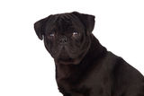 Nice pug dog with black hair Stock Photography