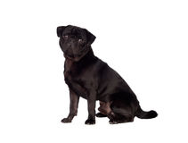Nice pug dog with black hair Royalty Free Stock Photos