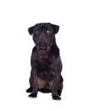 Nice pug dog with black hair Stock Photography