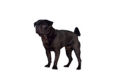 Nice pug dog with black hair Royalty Free Stock Photo
