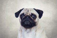 Nice pug dog with white hair Royalty Free Stock Photography