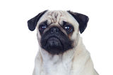 Nice pug dog with white hair Royalty Free Stock Images