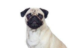 Nice pug dog with white hair Stock Image